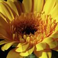 Yellow Gerbera Macro by Johanna Hurmerinta