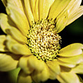 Yellow Gerbera by Redjule Photography