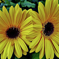 Yellow Gerberas by D Hackett