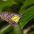 Yellow Glassy Tiger Butterfly by Louise Heusinkveld