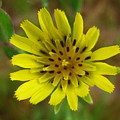 Yellow Goatsbeard by Melissa Parks
