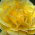 Yellow Golden Single Flower by David Zanzinger