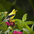 Yellow Goldfinch by Chad Davis