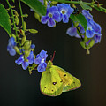 Yellow Grass Butterfly by Cathie Moog