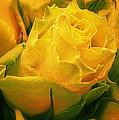 Yellow Green Rose by Bonita Brandt