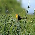 Yellow-headed Blackbird by Deanna Cagle
