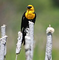 Yellow-headed Blackbird by Karon Melillo DeVega