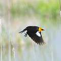 Yellow Headed Blackbird On The Wing by Dennis Hammer