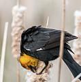 Yellow Headed Blackbird #7 by Patti Deters