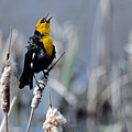 Yellow Headed Blackbird by Whispering Peaks Photography