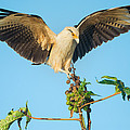 Yellow-headed Caracara Milvago by Panoramic Images