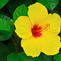 Yellow Hibiscus 3388 by Dick Hopkins