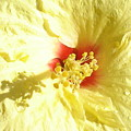 Yellow Hibiscus Close Up by Chandelle Hazen
