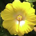 Yellow Hibiscus by Curt Rush