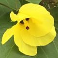 Yellow Hibiscus by Lisa Cassinari