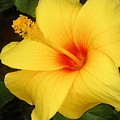 Yellow Hibiscus by Lucyna A M Green