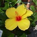 Yellow Hibiscus Shadows by Warren Thompson