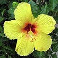 Yellow Hibiscus by Shannon Pearson