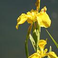 Yellow Iris 2 - Floral by Melodie Douglas