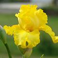 Yellow Iris Flowers Art Prints Cards Irises Summer Garden Landscape by Baslee Troutman