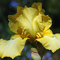 Yellow Iris Is For Passion by Debbie Oppermann