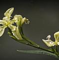 Yellow Iris by Shirley Mitchell