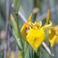 Yellow Iris Wild Flower by Jivko Nakev