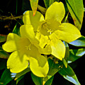 Yellow Jessamine At Pilgrim Place In Claremont-california by Ruth Hager