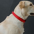 Yellow Lab by Jerry McElroy