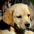 Yellow Lab Puppy 1704 H_2 by Steven Ward
