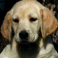 Yellow Lab Puppy 1724 H_2 by Steven Ward