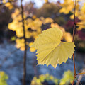 Yellow Leaf Newton Upper Falls Fall Foliage by Toby McGuire