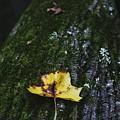 Yellow Leaf On Mossy Tree by Hunter Kotlinski