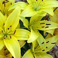 Yellow Lilies by Carol Sweetwood