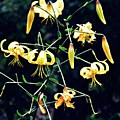 Yellow Lilies In Fort Tryon Park by Sarah Loft