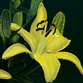 Yellow Lilly by Wade Clark