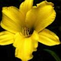 Yellow Lily 2015  by Beth Akerman