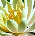 Yellow Lily Burst by Lisa Renee Ludlum