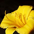 Yellow Lily by Carol Sweetwood