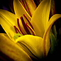 Yellow Lily by David Patterson