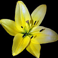 Yellow Lily by Evelyn Patrick