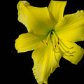Yellow Lily Flower Black Background by Bruce Pritchett