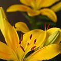 Yellow Lily Mirror by Amy Fose