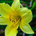 Yellow Lily by Tikvah's Hope
