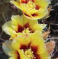 Yellow Long- Spined Prickly Pear Cactus  by Saija Lehtonen