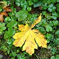 Yellow Maple Leaf by Charles Robinson