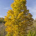 Yellow Maple Tree 1 by John Brueske