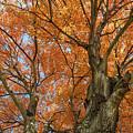 Yellow Maple Tree by Bryan Pollard