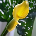 Yellow Mini Calla Lilies by Donna Bentley