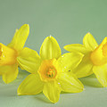 Yellow Mini Narcissus On Green 2 by Iris Richardson